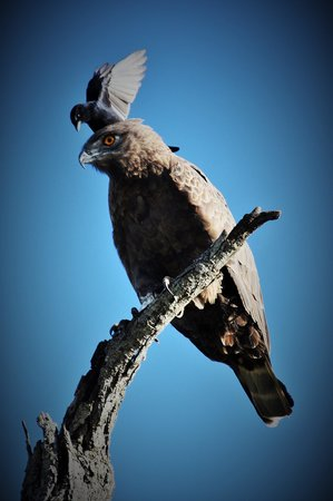 Turaco Lodge : Brown snake eagle