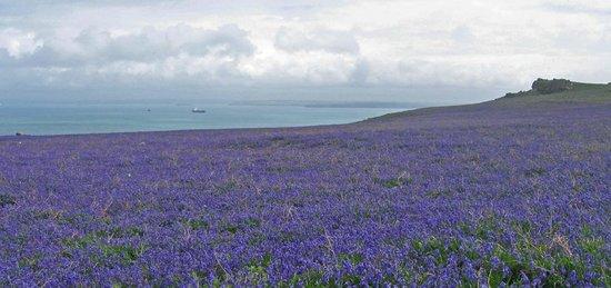 Hafod Grange Bed & Breakfast: View from Skomer Island over the bluebells