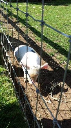 Cotswold Farm Park: gloucester spot piglet