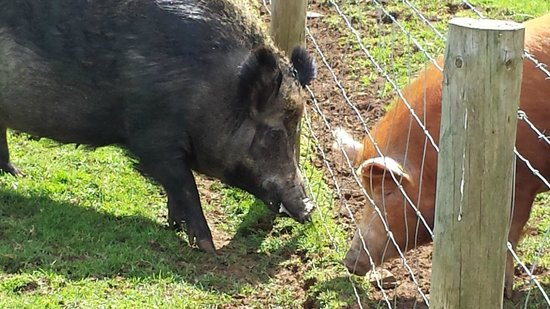 Cotswold Farm Park: boar and tamworth