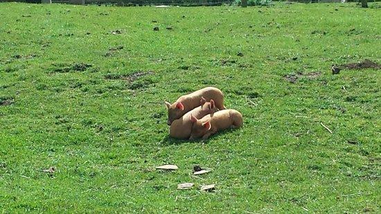 Cotswold Farm Park: tamworth piglets aww