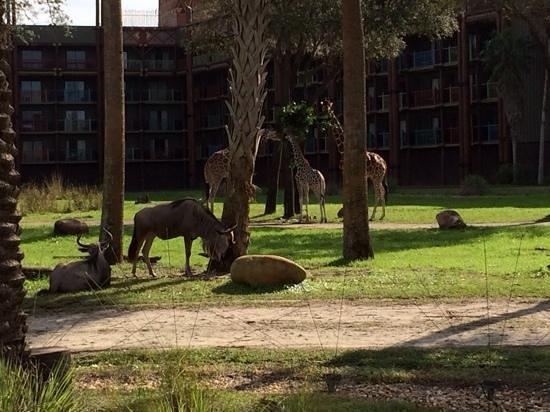 Disney's Animal Kingdom Lodge: girafe nel parco