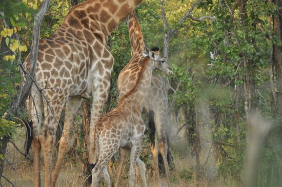 Hippo Pools Wilderness Camp : Giraffe in conservation area