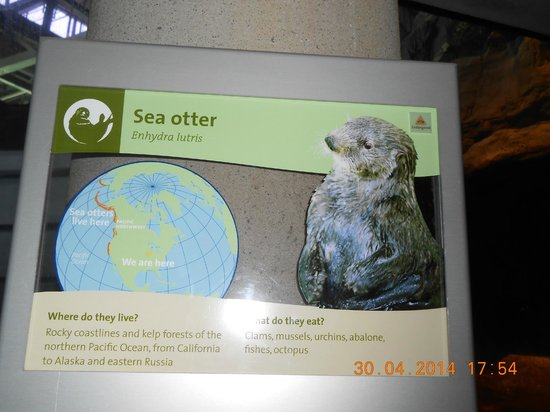 Shedd Aquarium : Sea Otters