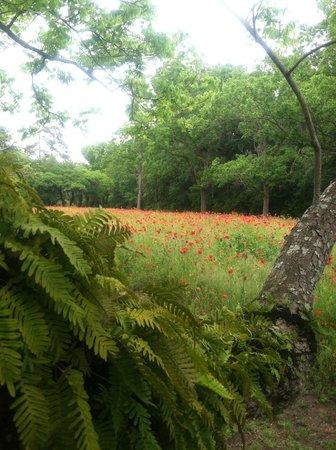 Boone Hall Plantation : Beautiful Poppy field