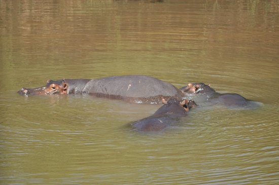 Hippo Pools Wilderness Camp : The Hippos of the Pools