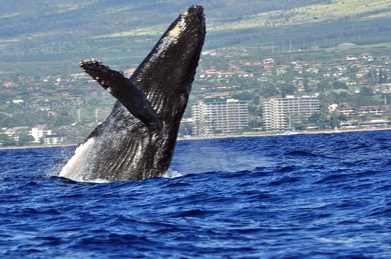 Ultimate Whale Watch & Snorkel : the escort breaching