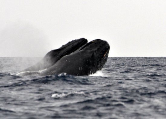 Ultimate Whale Watch : the 2 males showing off to the  female