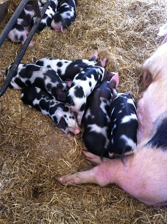 Wimpole Estate: Piglets at home farm (May 2014)