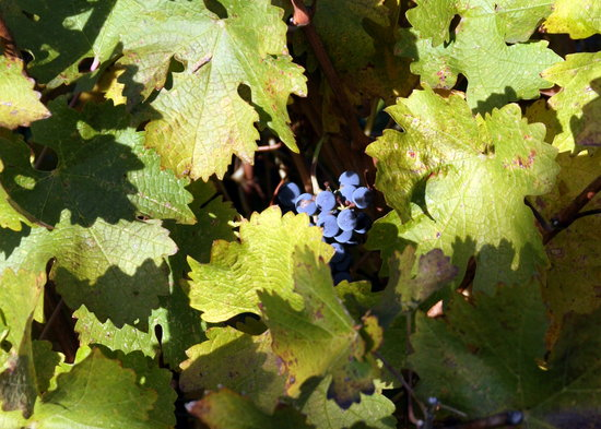 Napa Winery Inn: Grape Cluster