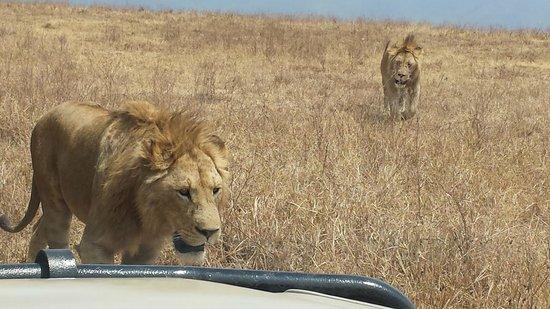 Empakaai Crater: up close to lions
