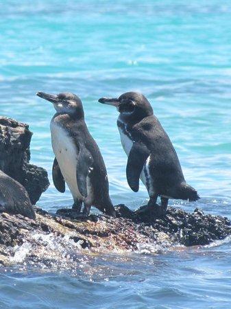 Las Tintoreras: Pinguins de Galápagos ~ Foto: Edson Cunha