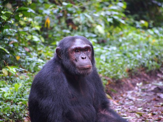Kibale National Park: On the Chimpanzee Habituation Experience at Kibale National Forest, Uganda.