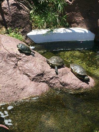 Pueblo Bonito Los Cabos : turtles on the grounds too