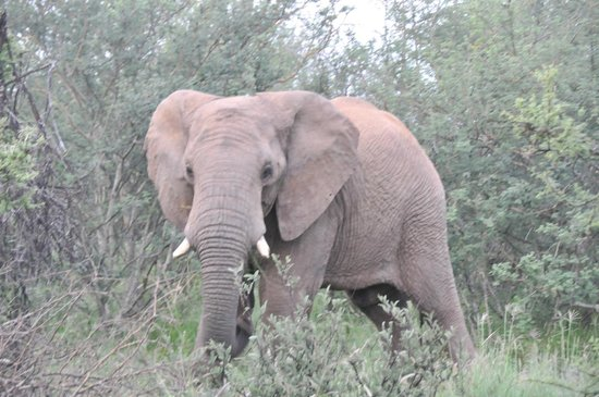 Three Cities Madikwe River Lodge: elephant in the jungle