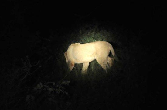 Three Cities Madikwe River Lodge: lion at night