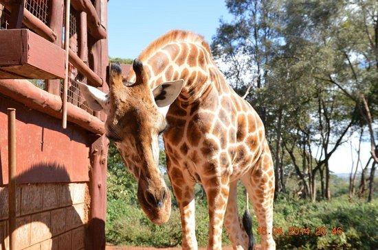 African Fund for Endangered Wildlife (Kenya) Ltd. - Giraffe Centre : Жираф