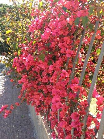 Stenopus Greco: Санта-Флавия в цвету.