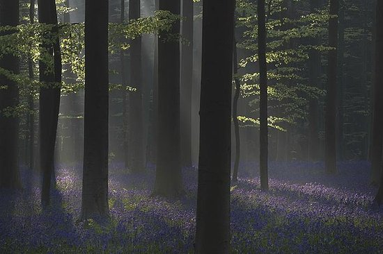 ‪Hallerbos – ''The Blue Forest''‬