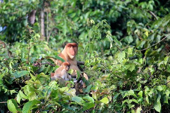 Sukau Rainforest Lodge: Wild Proboscis Monkeys