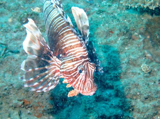 Simply Scuba Dive Charters: Firefish in Ponta
