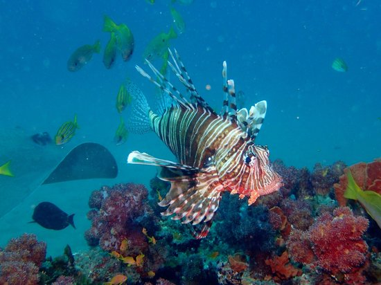 Simply Scuba Dive Charters: Firefish and ray at Ponta