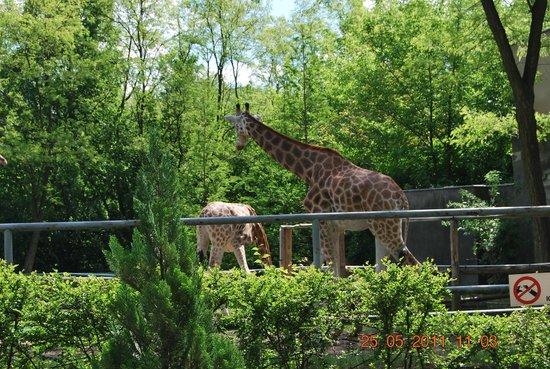 Lodz Zoo : Giraffe
