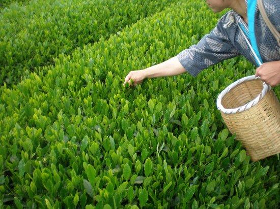 Gurinpia Makinohara: 茶摘み