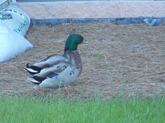 Wingate by Wyndham Montgomery: Local residents of the pond include a flock of friendly ducks and one large goose.