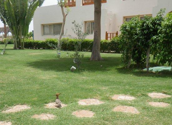 Royal Grand Sharm Hotel: little bird