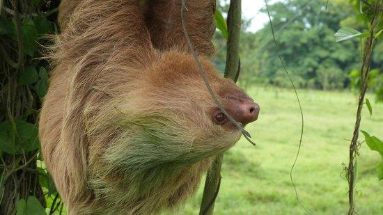 Parque Nacional Tortuguero: Two Toed Sloth