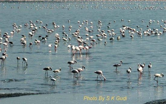 Sewri Jetty: Flamingos Galore