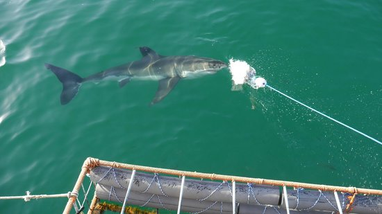 4 Heaven Guesthouse : Shark Cage Diving