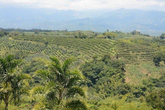 Hotel Mirador Las Palmas : Coffee plantations in the Valley