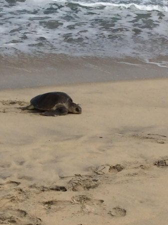 Hyatt Ziva Los Cabos: Sea Turtle coming up out of the ocean