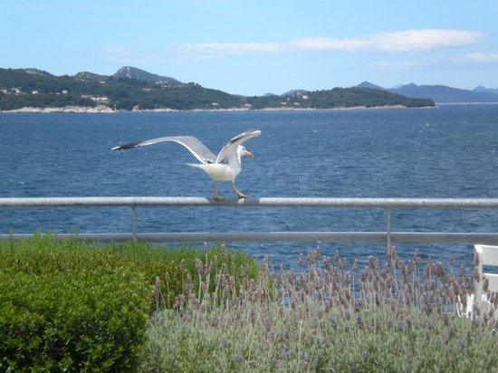 Valamar Lacroma Dubrovnik : A seagull on our hotel terrace and the view...