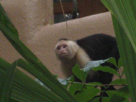 Arenas del Mar Beachfront and Rainforest Resort, Manuel Antonio, Costa Rica : white faced monkey on the property