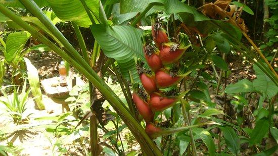 Carambola Botanical Gardens & Trails: Banana Plant