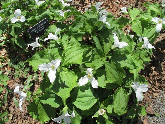 New England Wild Flower Society Garden in the Woods: White Trillium