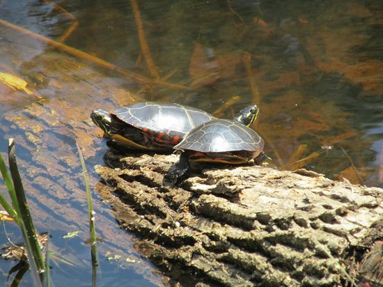 New England Wild Flower Society Garden in the Woods: Turtles on a log