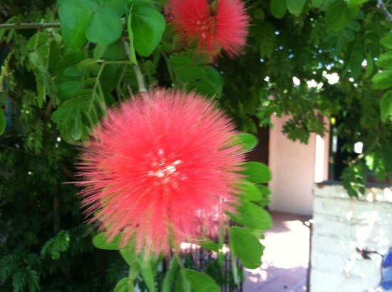 Casa Ocotillo: Beautiful flower on the grounds.