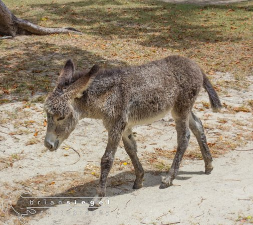 Caneel Bay Resort: Baby Donkey
