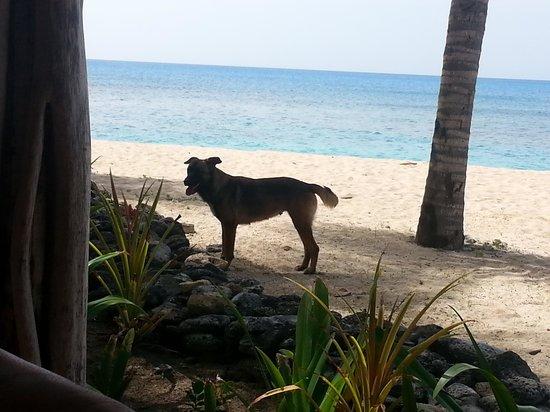 Galley Bay Resort : Cute dog that roams beach