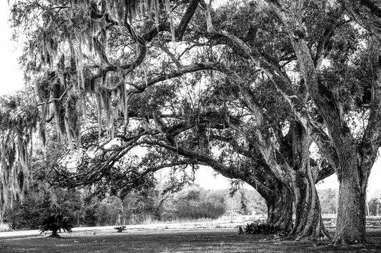 Twelve Oaks Plantation B&B: Beautiful Live Oak Trees