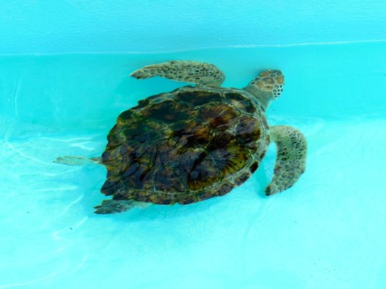 Loggerhead Marinelife Center: One of the turtles in the rehab holding tanks
