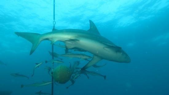 Aliwal Shoal Adventures: Oceanic Blacktip Shark on baited dive at Howards' Castle, Aliwal Shoal, South Africa, with Aliwa