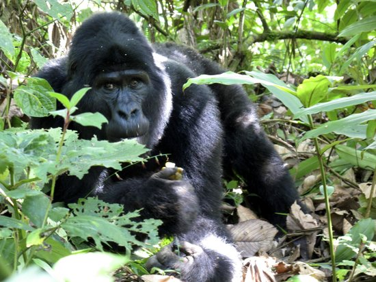 Nkuringo Bwindi Gorilla Lodge: We were so close.