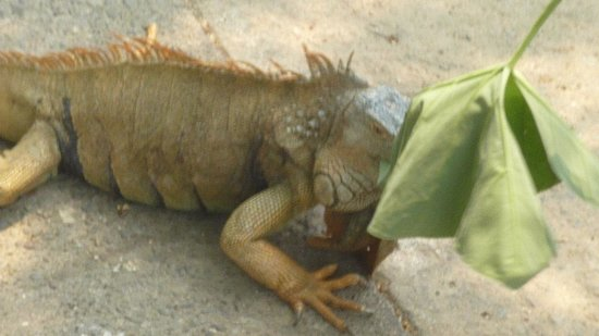 Arch's Iguana and Marine Park: Chow time!