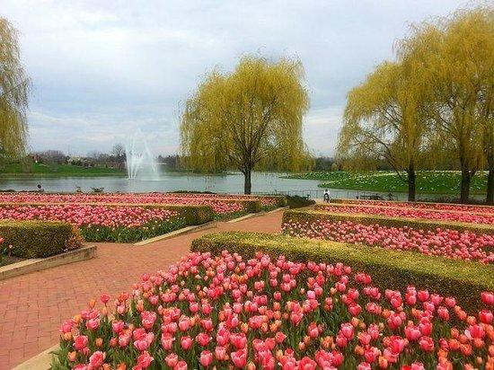 Chicago Botanic Garden Tulip