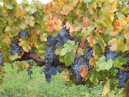 The Paddocks at Whistler Farm : local vineyard